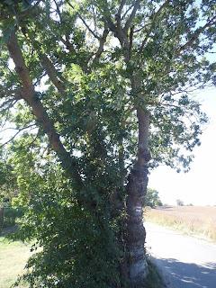 Oznaczenie szlaku turystycznego na drzewie pomiędzy Gąskami a Sarbinowem Morskim (Gmina Mielno)