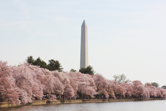 The Washington Monument and cherry trees in Washington, DC