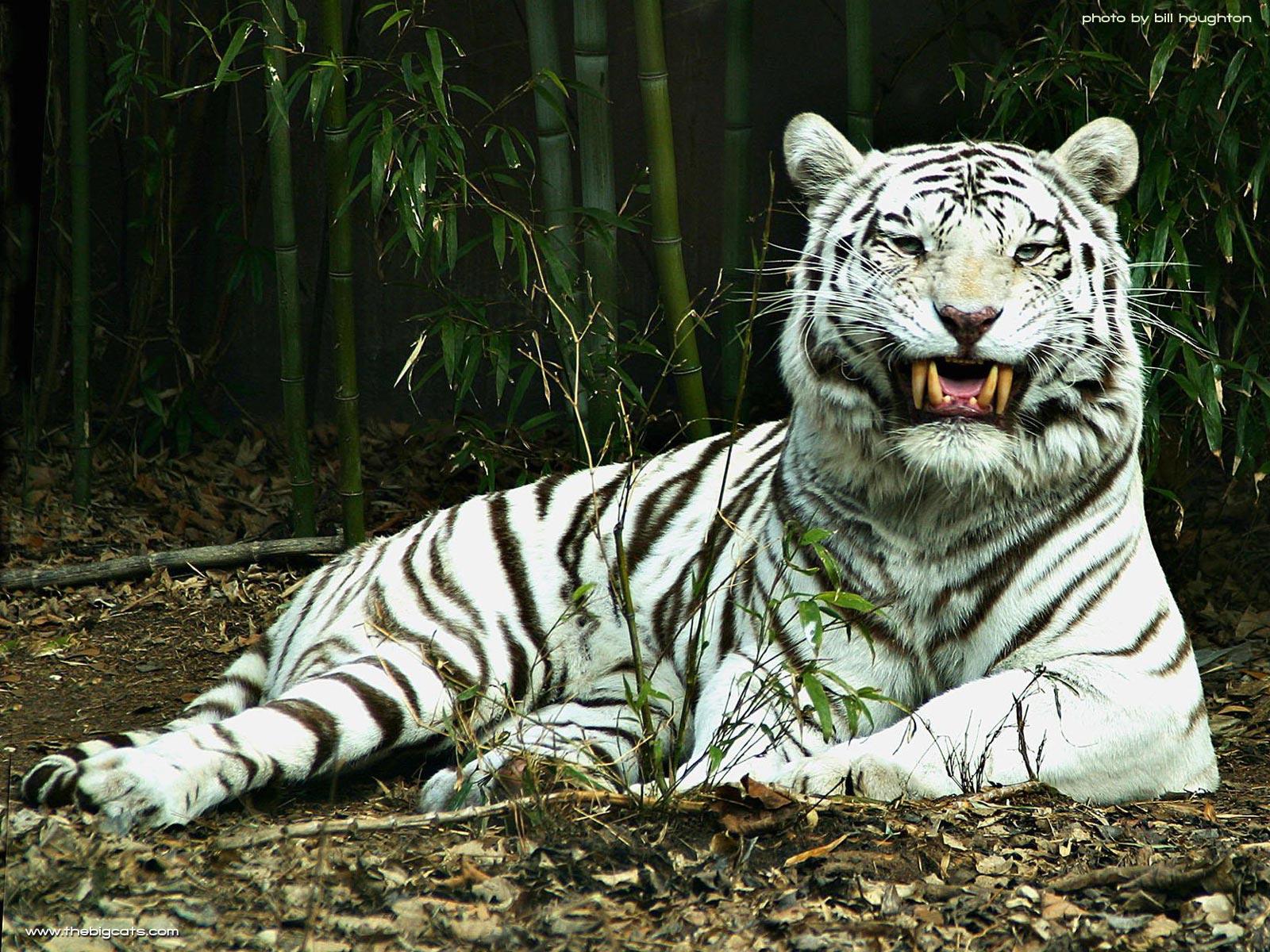 white tiger wallpapers - beautiful tiger desktop wallpapers