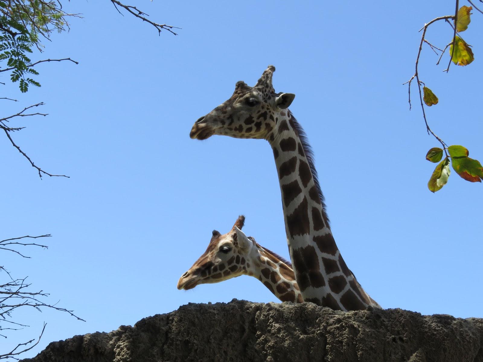 The Living Desert giraffe
