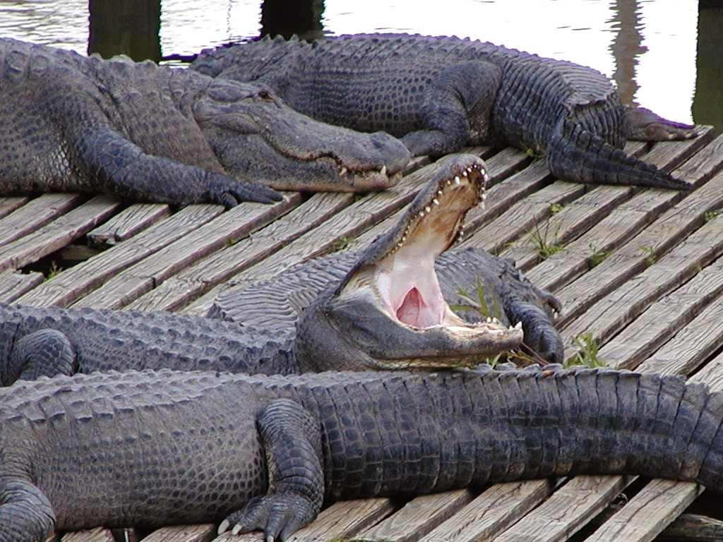 Crocodiles attacking humans