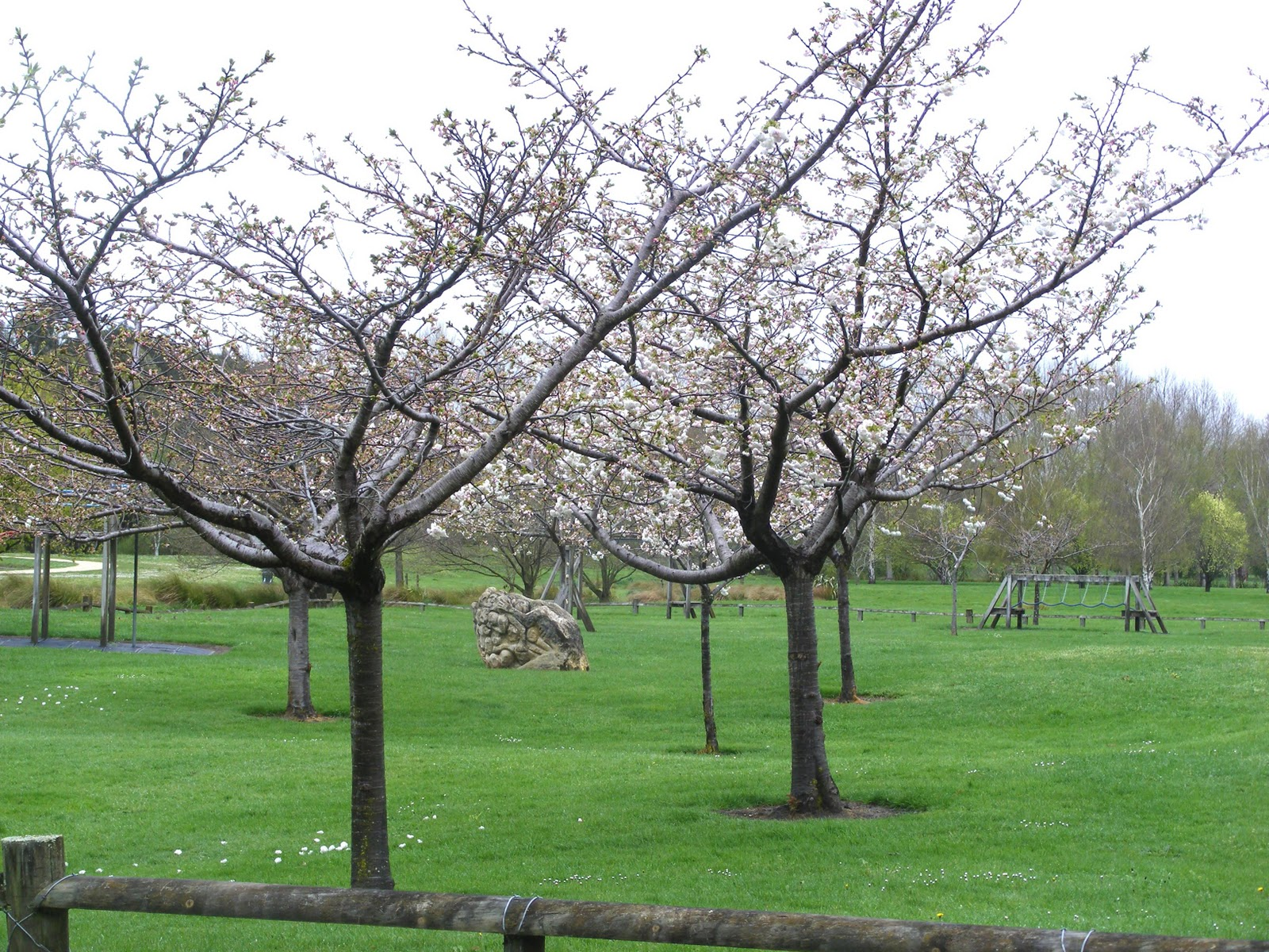 mt fuji cherry tree nz callaghan landscape architect nz prunus shirotae mount fuji