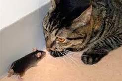 Tikus 'Tidak Akan Takut Lagi' Pada Kucing Selamanya