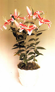 Гибриды лилии