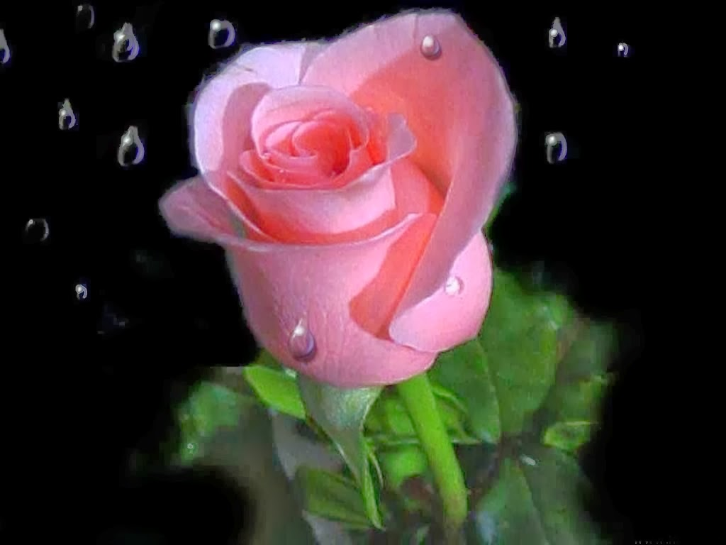 Pink Love Roses Flowers Online Delivery Images Wallpapers Flowers