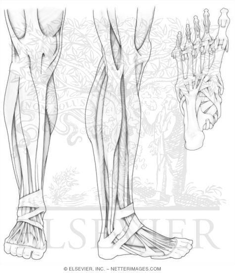 Musculoskeletal Anatomy Coloring Book Free Download