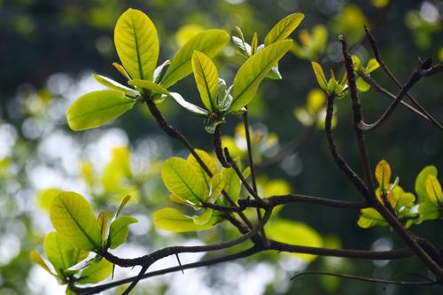 Búp bàng non chữa chàm cho bé - http://tricham.blogspot.com