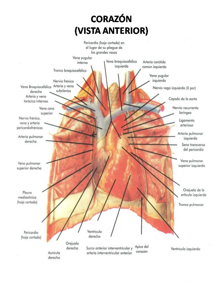 Perfecto Vista Anterior Del Corazón Humano Bandera - Anatomía de Las ...