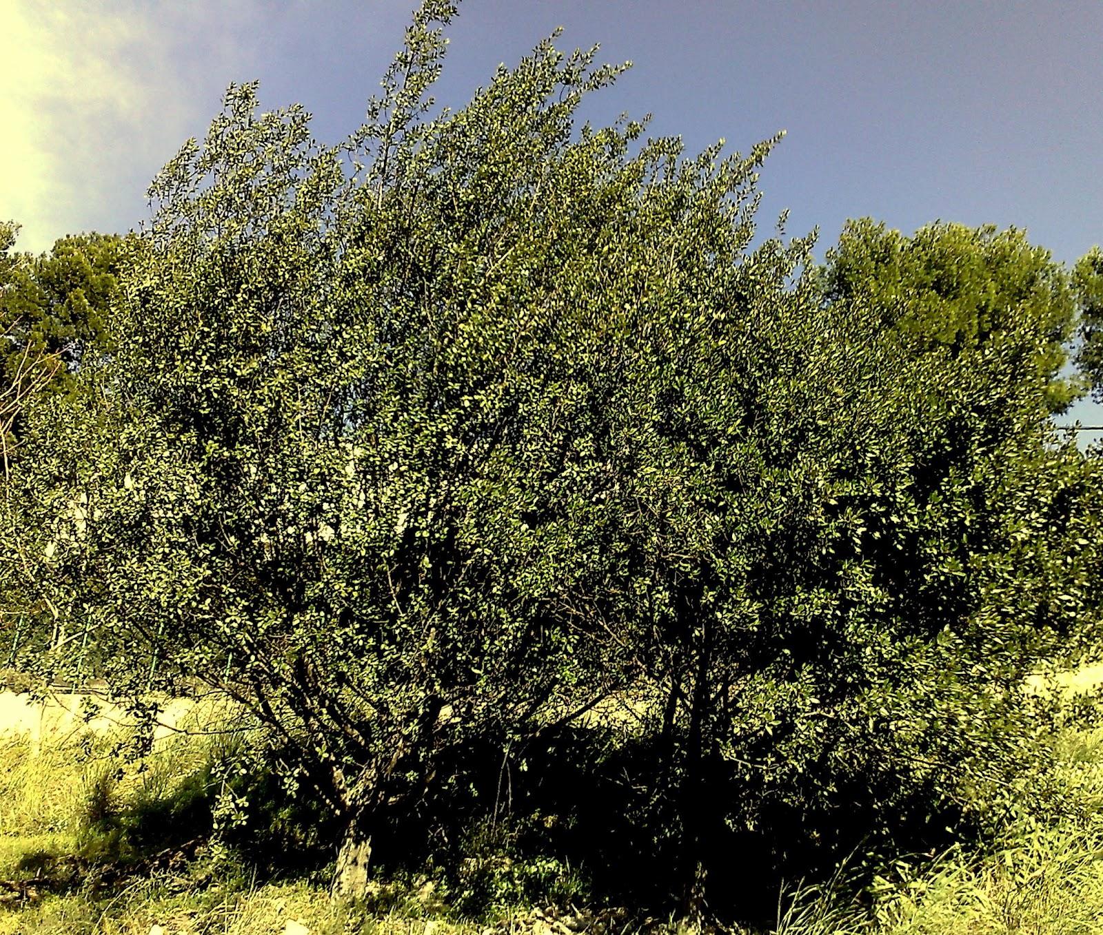 u00c1rboles con alma  aladierno  aladern   rhamnus alaternus