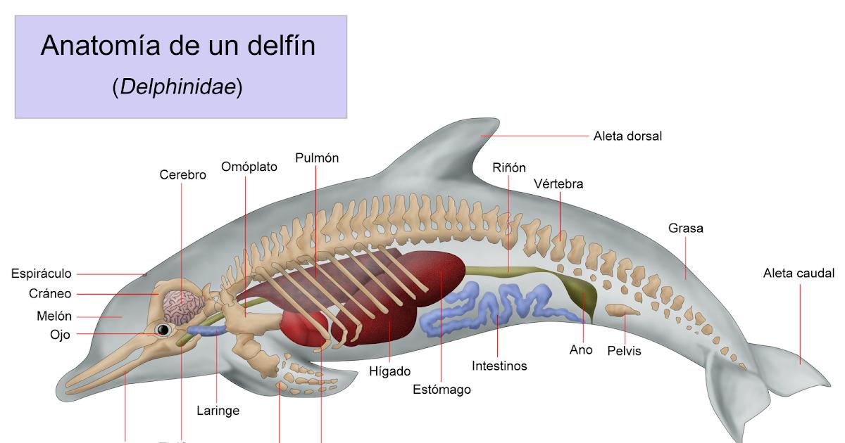 El Delfín: Ánatomía del Delfín (físico)