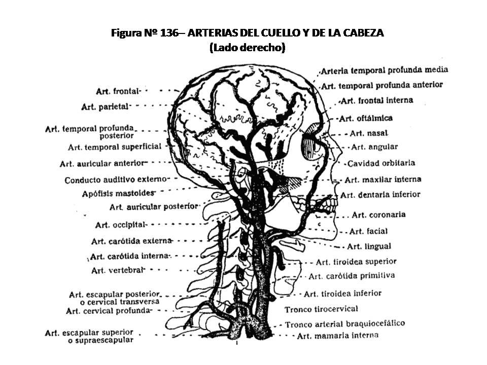 ATLAS DE ANATOMÍA HUMANA: 136. ARTERIAS DEL CUELLO Y DE LA CABEZA ...