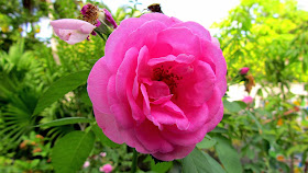 http://commons.wikimedia.org/wiki/File:Maldivian_National_Flower_(5780948545).jpg#filelinks