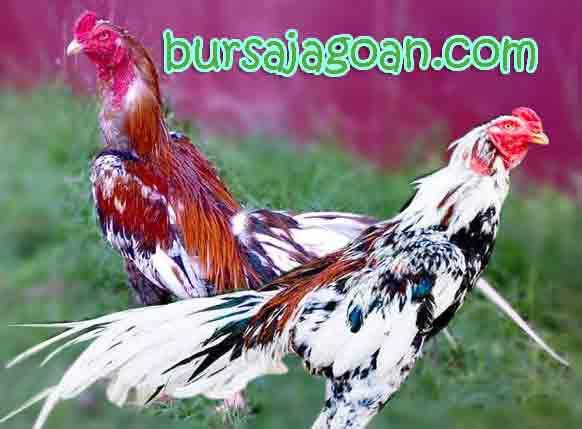 Pin Gambar Ayam Serama Sepasang Pelautscom on Pinterest