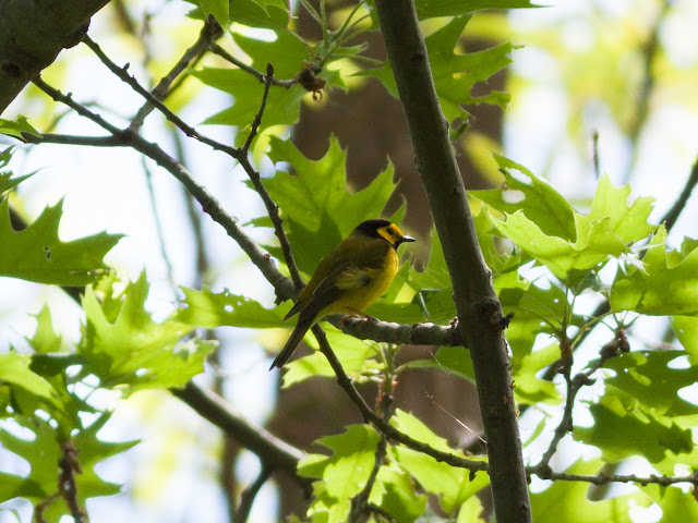 Hooded Warbler - Doodletown, New York