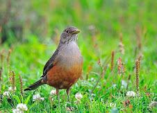 Fauna Bacia Taquari-Antas - Fonte: Aepan-ONG - Série: Aves