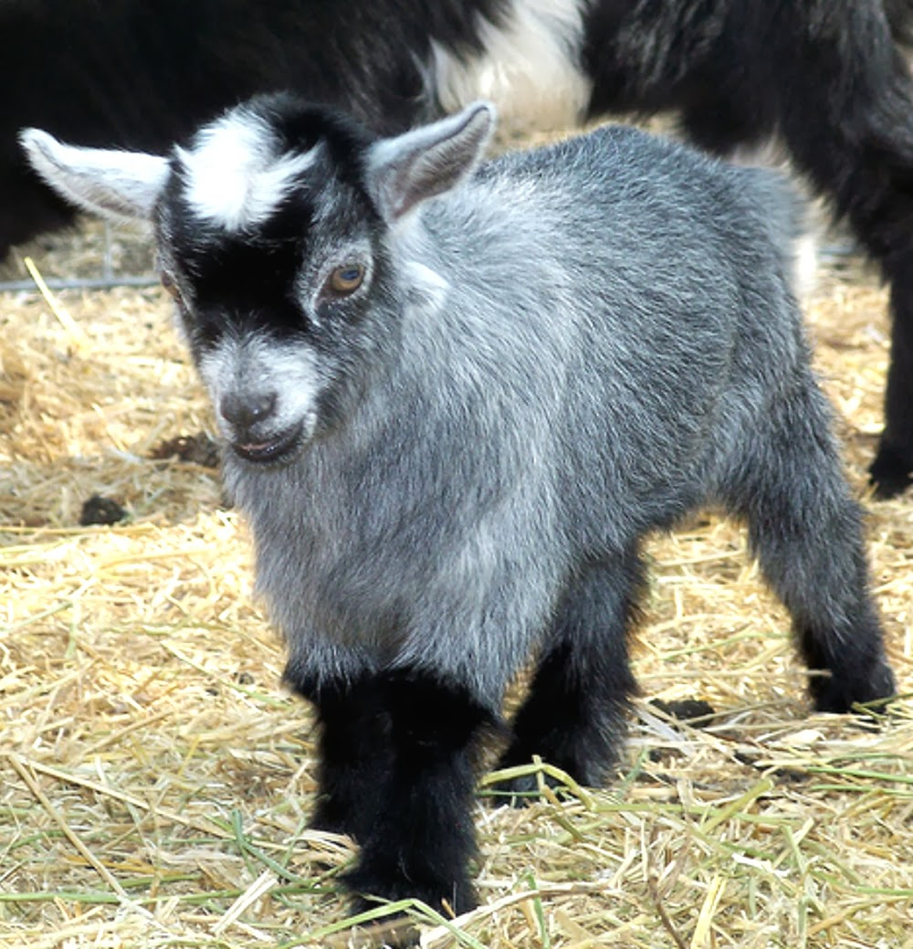caring for newborn pygmy goats, caring for pygmy goats