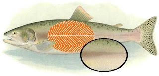 bintancenter.blogspot.com - Inilah Alasan Kenapa Danging Ikan Warna-Nya Putih / Merah