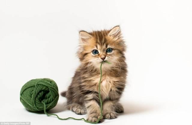 daisy anak kucing paling comel di dunia
