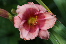 Daylily Database.