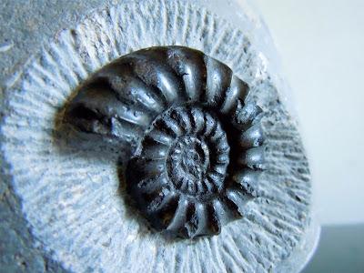 Fossil Ammonite: Euagassiceras resupinatum.