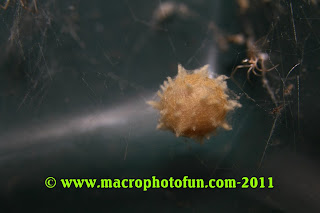 Brown widow spider egg sack