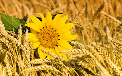 Alone Sunflower Between Crops HD Wallpaper