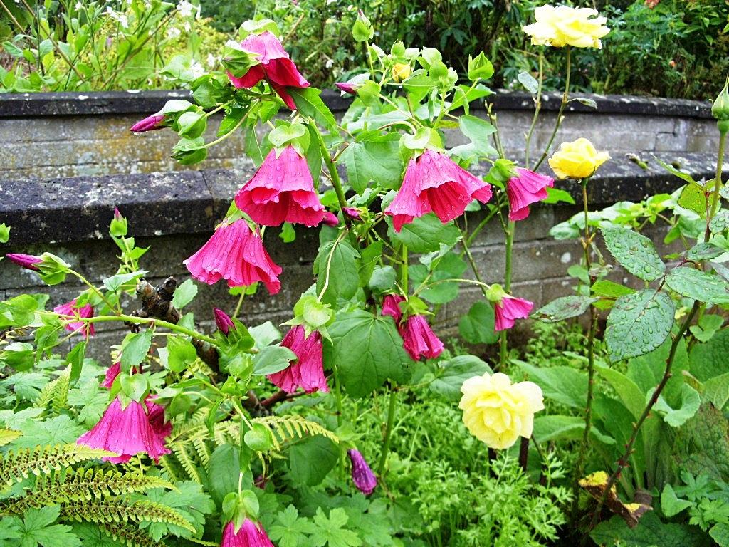 Цветы малопа выращивание 29