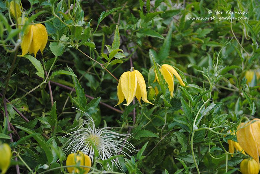Клематис тангутский (Clematis tangutica)