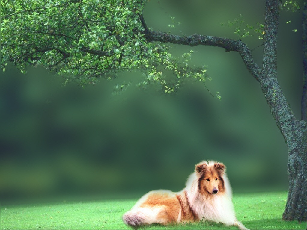 Rough Collie Wallpapers Fun Animals Wiki Videos