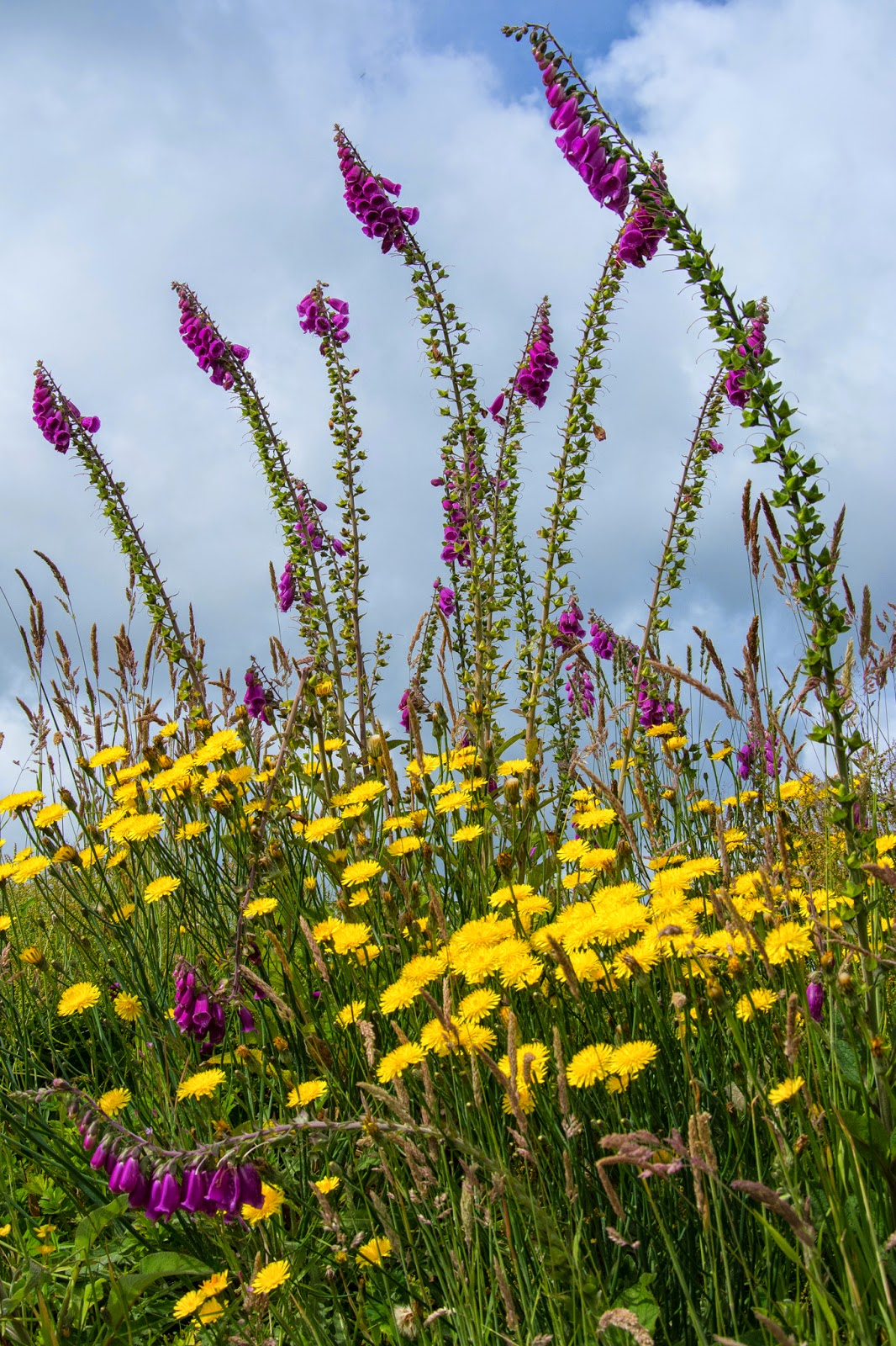 Foxgloves and Dandelions, Ring of Kerry