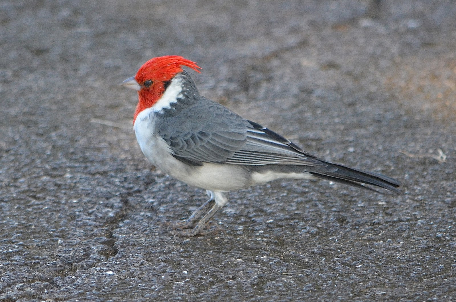 Red Hawaiian Bird This Bird Has a Red Head And