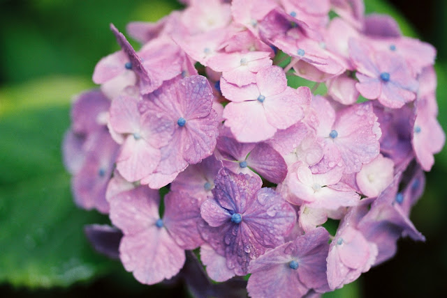 purple hydrangea after rain