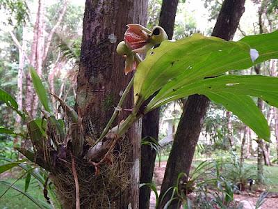 Catasetum integerrimum sobre un arbol