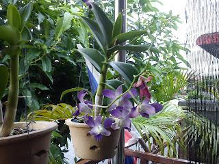 Ini pokok orkid kat rumah kakak aku. dia dah tanam lama dah