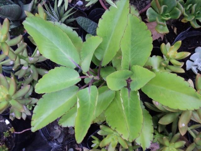 Plantas morenal kalanchoe pinnata yerba bruja hoja del for Plantas de aire