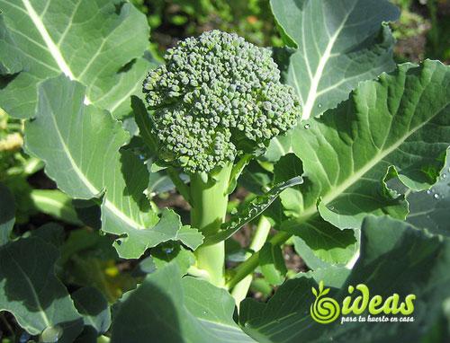 Br coli vegetales basicos tu huerto en casa ideas para - Huerto en casa macetas ...