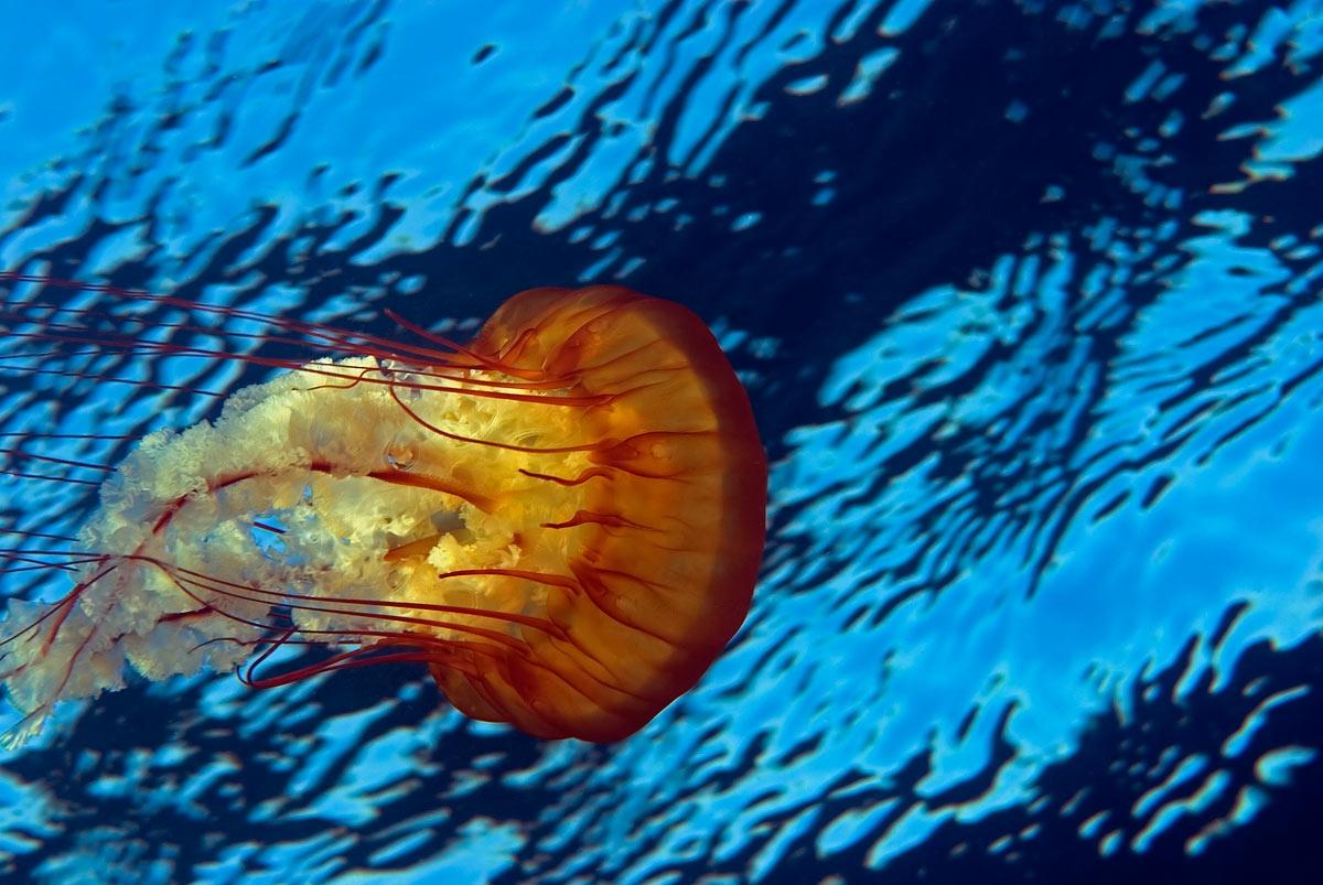 Beautiful animals safaris beautiful dangerous jellyfish for Fish in sea