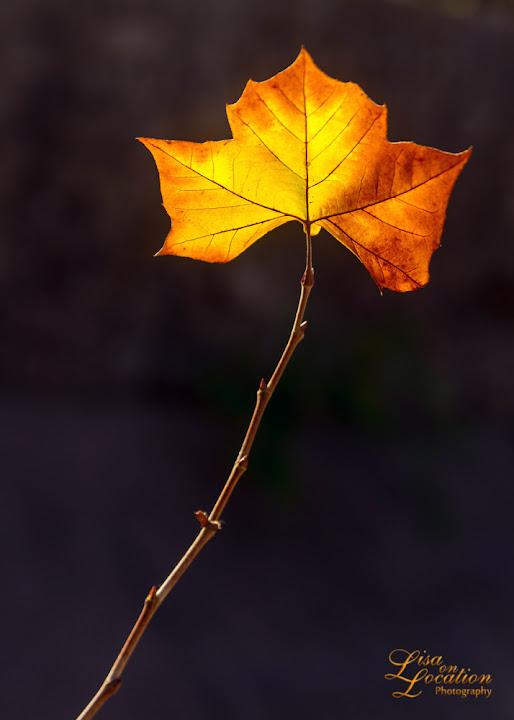 365 photo project, leaf, backlit