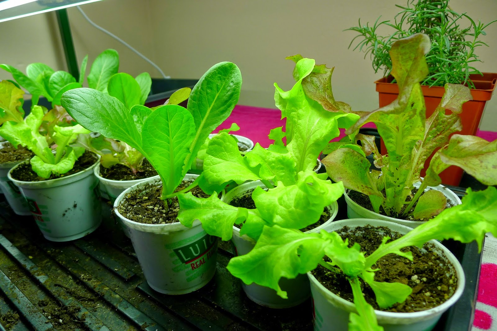 February Garden and Kitchen  Tasks, harvest grow light lettuce