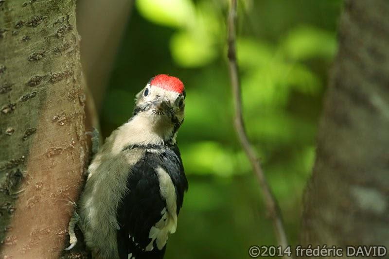 animaux oiseau pic épeiche juvénile forêt Rougeau Seine-et-Marne