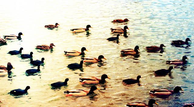 ducks coots reno nevada virginia lake birds waterfowl race