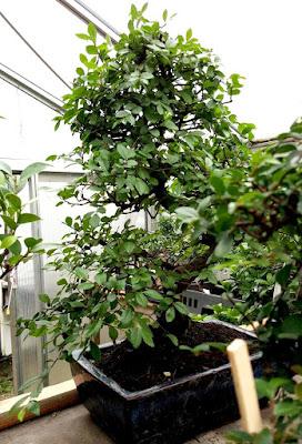 Bonsai de ulmus parvifolia bien aireado