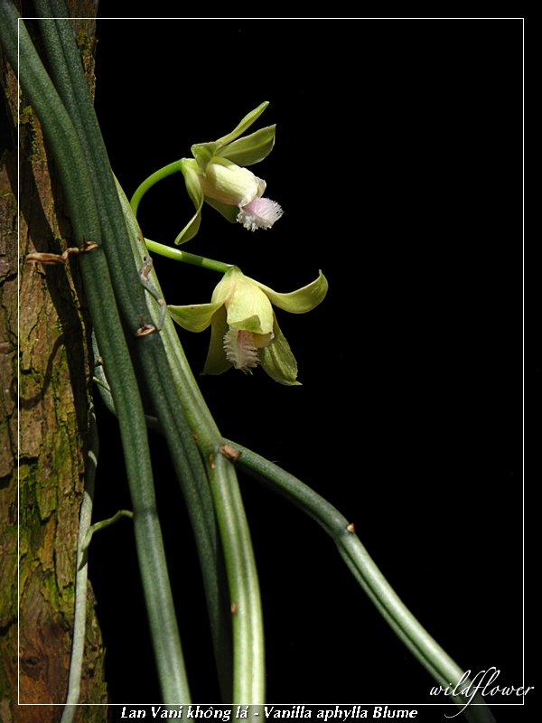 http://4.bp.blogspot.com/-cb7d7RJP5bg/TgCloAaH27I/AAAAAAAABj8/D9Pr0kPn3U0/s1600/Vanilla+aphylla_2211.jpg