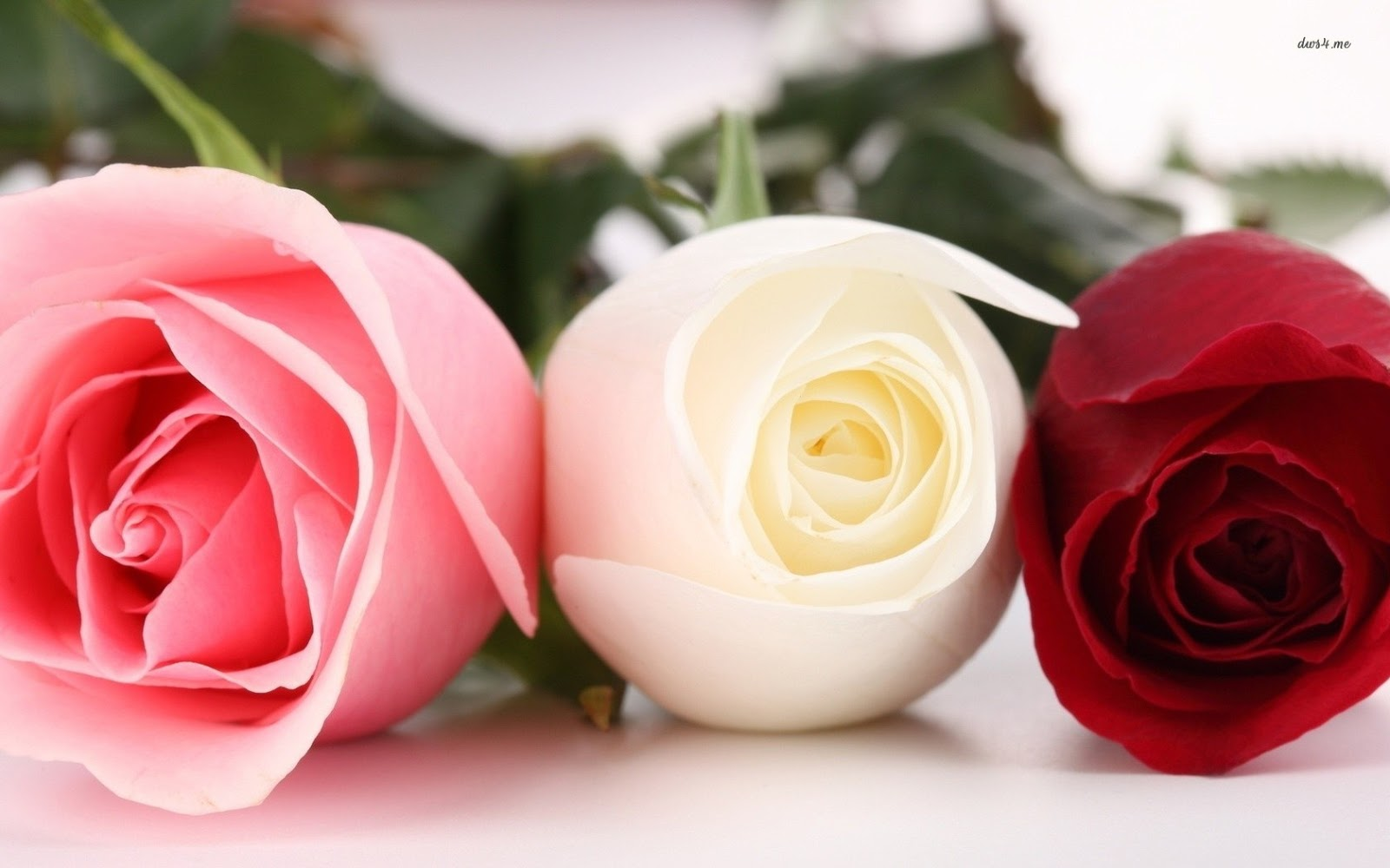 Red Roses Wallpapers