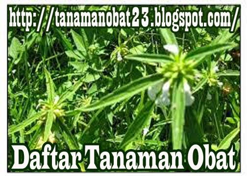 Tanaman Obat Lenglengan (Leucas lavandulifolia S
