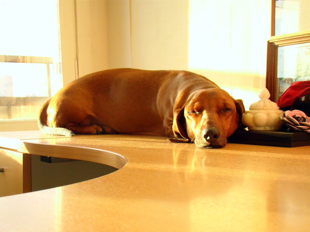Такса - собака, которая дарит море позитива