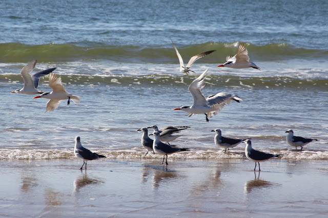 Shore Birds at Matagorda Beach