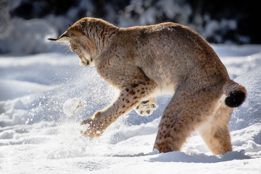 9. Photograph lynx playing with snow by Martin Zorn