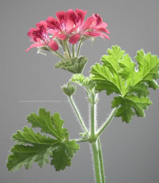 Concolor Lace, Filbert, Shottesham Pet scented pelargonium flowers and leaves