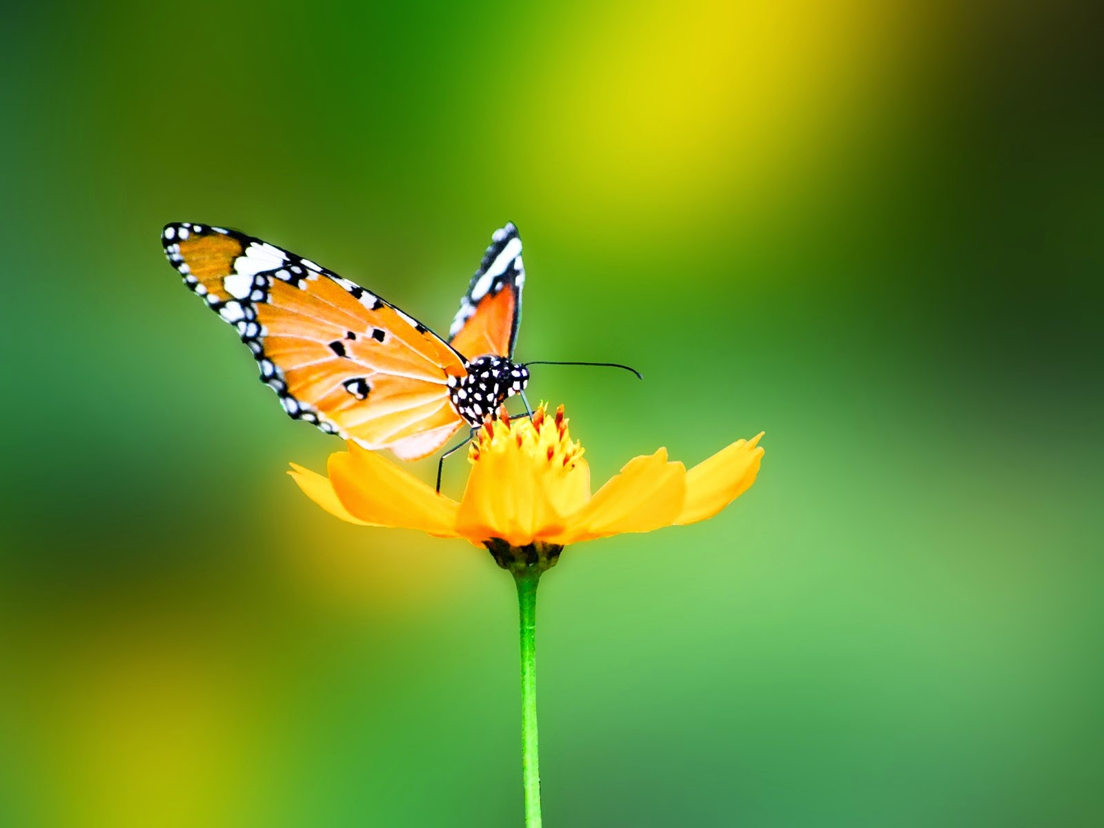 Butterfly Insects Nature HD Wallpapers By Wallpaper Groups